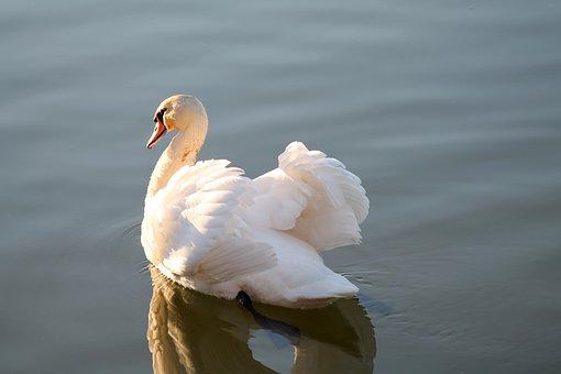 Swan, Bird, Feathers, Plumage, Beak, Lake, Reflection
