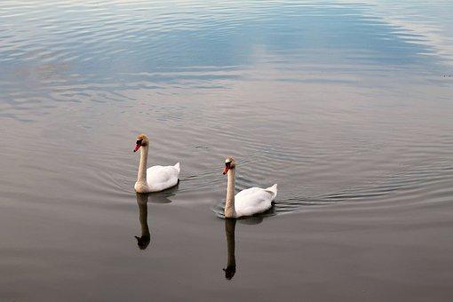 Sunset, Swans, Lake, Nature, Water, Scenic, Animals