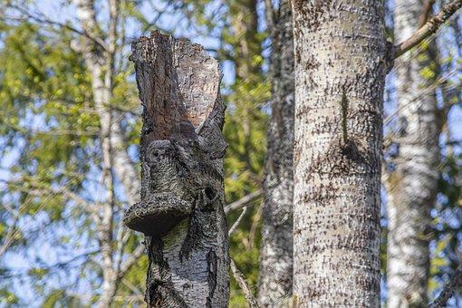 Owl, Bird, Ural Owl, Strix Uralensis, Forest, Tree
