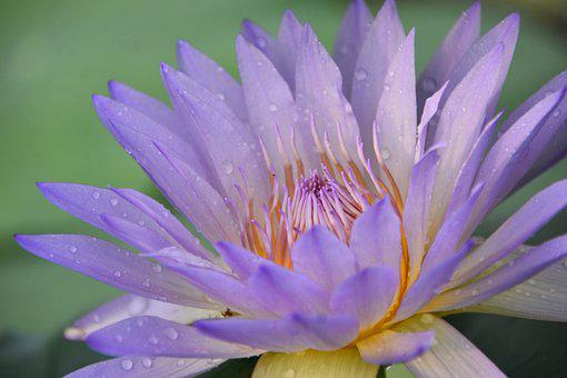 Water Lily, Flower, Plant, Bloom, Blossom, Flora