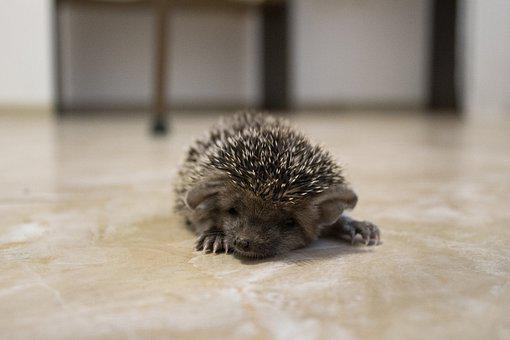 Hedgehog, Animal, Cute, Barb, Young, Creature