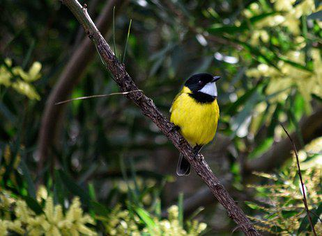 Golden Whistler, Bird, Animal, Male Bird