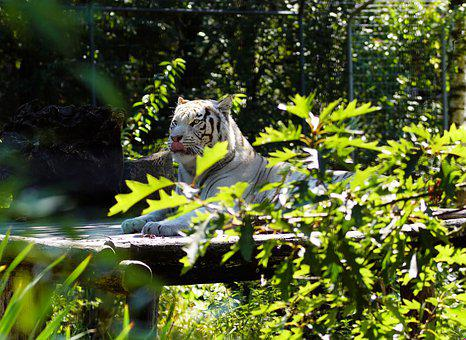 White Tiger, India, Animal World, Nature, Cat, Feline