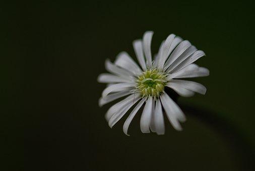 Aster, White Aster, White Flower, Flower, Blossom