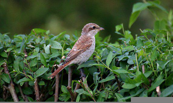 Red-haired Shrike, Young Bird, Bird, Brown Springs