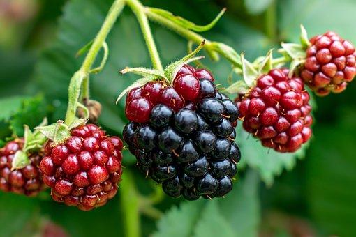 Blackberries, Blackberry Plant, Fruit, Unripe Fruit