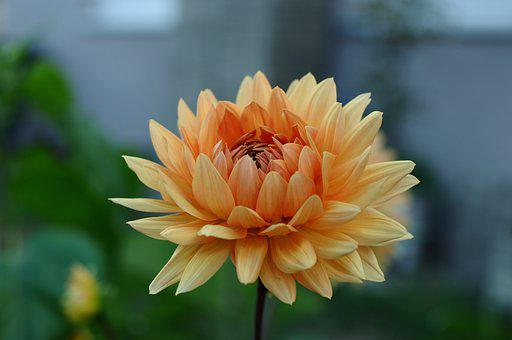 Dahlia, Flower, Blossoming, Blooming, Plants, Botany