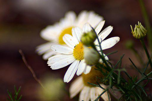 Chamomile, Flowers, Buds, Petals, Herbs, Blossom, Bloom