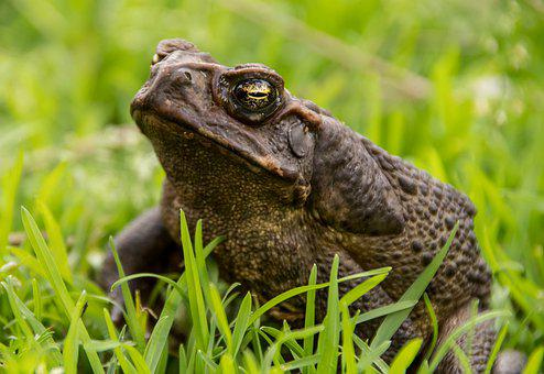 Cane Toad, Toad, Amphibian, Giant Neotropical Toad