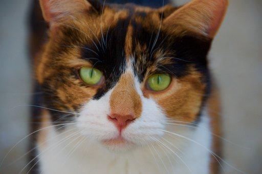 Cat, Pet, Cute, Feline, Cat's Eyes, Domestic, Adorable