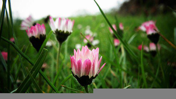 Daisies, Flowers, Blooming, Grass, Pink Flowers, Meadow