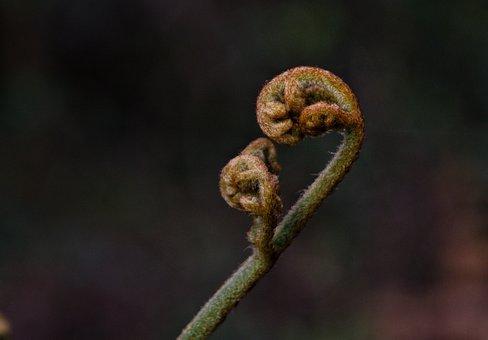 Fiddlehead Fern, Fiddleheads, Fiddlehead Greens