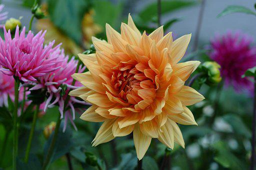 Dahlia, Flowers, Plants, Bloom, Botany, Blossom, Garden