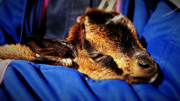Dwarf Goat, Kid, Goat, Baby Goat, Cuddle, Comfort