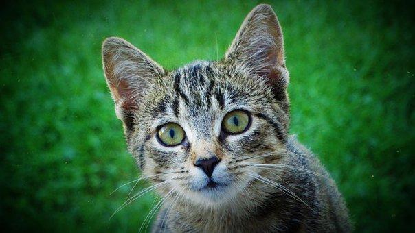 Cat, Kitten, Animal, Pet, Cute, Charming, Domestic