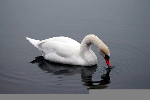 Swan, Lake, Reflection, Drinking, Drink, Avian