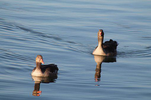 Geese, Lake, Reflection, Swimming, Water Fowl, Avian