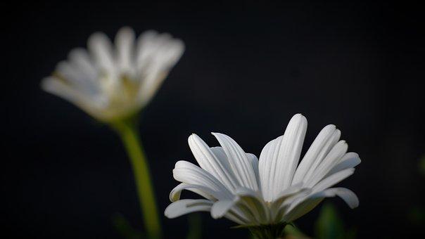 Marguerite, White Flowers, White Petals, Garden, Bloom