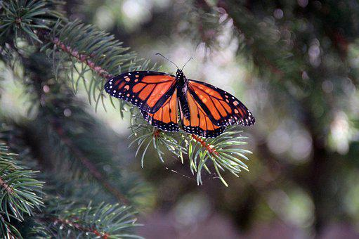Monarch Butterfly, Insect, Butterfly, Monarch, Nature