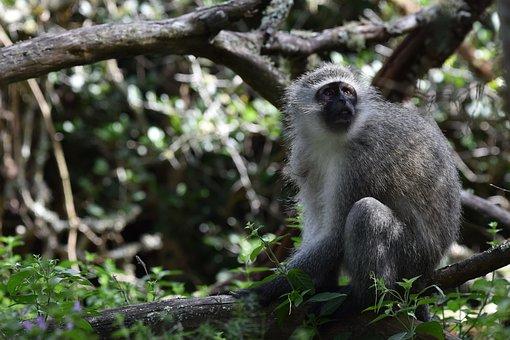 Monkey, Vervet Monkey, Animal, Mammal