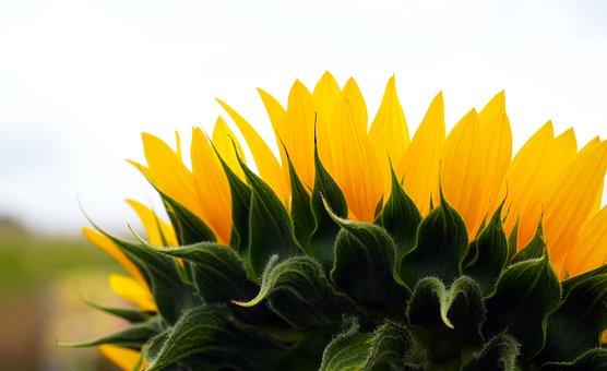 Flowers, Sunflower, Blossom, Bloom, Nature, Flora