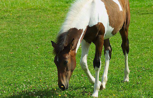 Horse, Foal, Pasture, Young, Baby, Animal, Nature