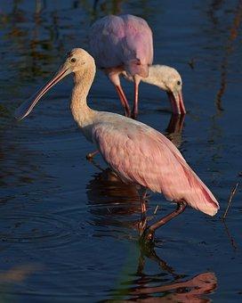 Birds, Plumage, Water Bird, Water, Nature, Wild