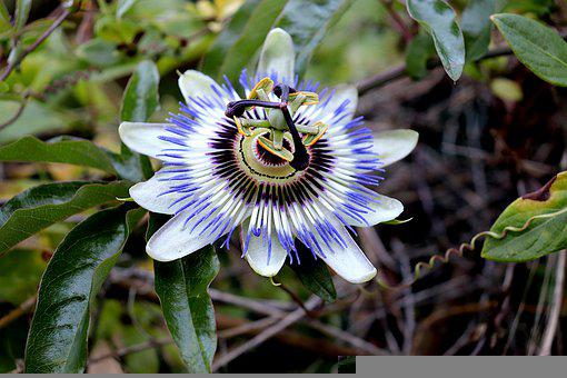 Passion Flower, Passion Plant, Passion Vine, Plant