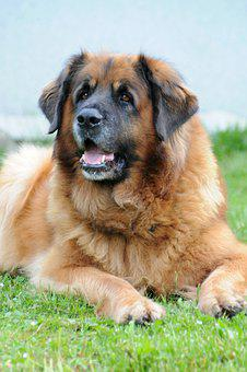 Leonberger, Dog, Animal, Portrait, Animal Portrait, Pet
