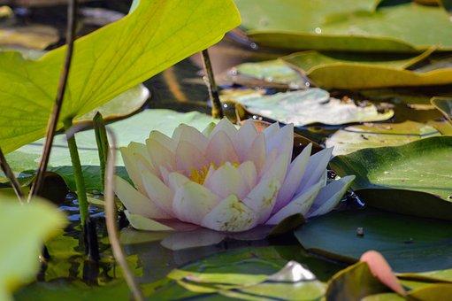 Flower, Lotus, Petals, Water Lilies, Pond, Water, Shade