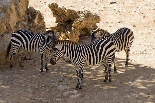Zebras, Plains Zebras, Animals, Mammals, Herbivore