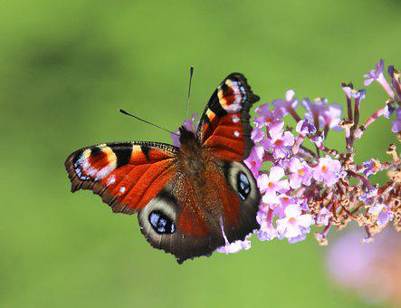 Butterfly, Insect, Flower, Pollinator, Pollination