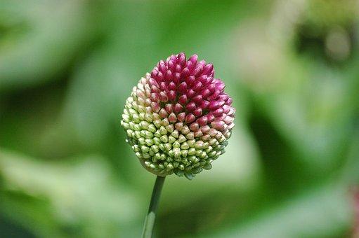 Round-headed Garlic Flower, Flower, Plant