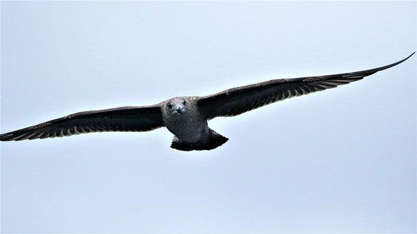 Seagull, Gull, Bird, Flying, Soaring, Sky, Seabird