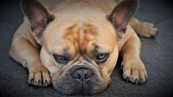 French Bulldog, Dog, Pet, Domestic Dog, Snout, Animal