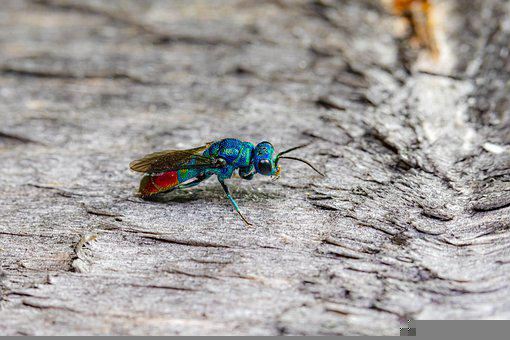 Ruby-tailed Wasp, Cuckoo Wasp, Wasp, Insect