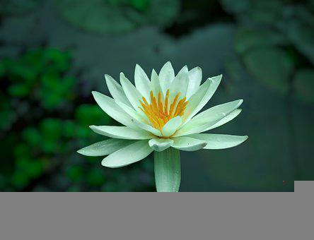 Water Lily, Flower, Petals, White Flower