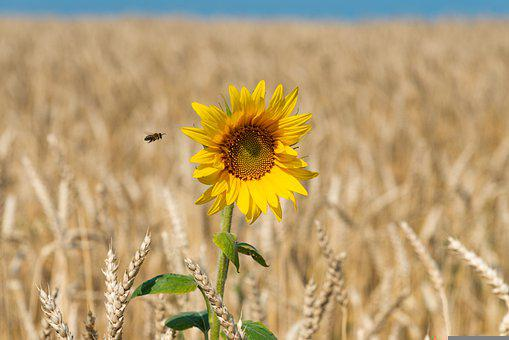 Flower, Sunflower, Wheat, Field, Wheat Field