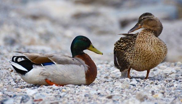 Ducks, Mallard, Water Bird, Duck Bird, Animals, Bird