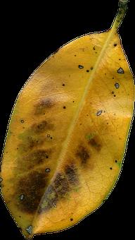 Magnolia Leaf, Fall, Autumn, Png, Dried, Flora, Leaf