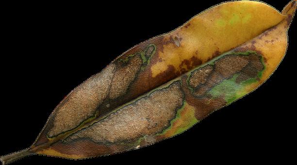 Magnolia Leaf, Fall, Autumn, Season, Nature, Natural