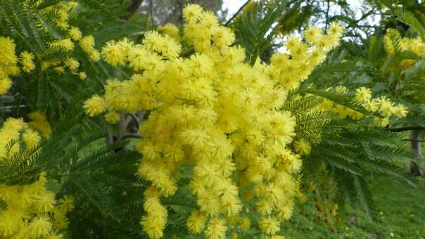 Mimosa, Flower, Bloom, Yellow, Women's Party