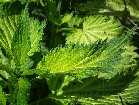 Nettle, Green, Scratchy, Greens, Grass, Green Grass