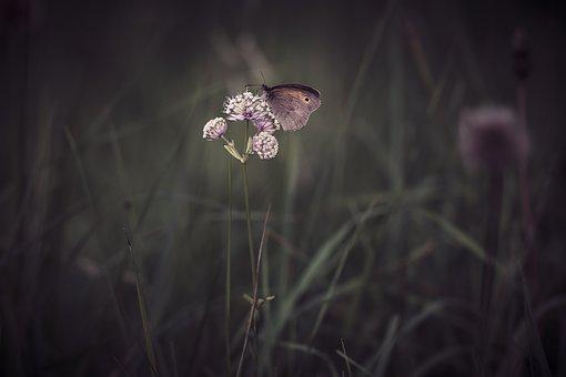 Butterfly, Meadow Brown, Insect, Flight Insect, Animal