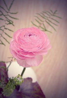 Ranunculus, Pink, Blossom, Bloom, Flower, Spring Flower