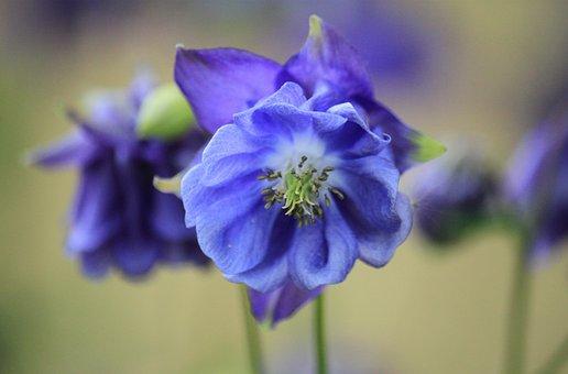 Columbine, Blossom, Bloom, Flower, Flower Macro, Plant