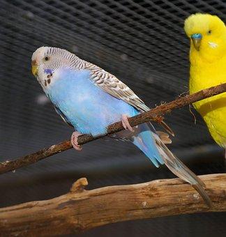Bird, Budgie, Together, Parakeets, Animal World, Pets