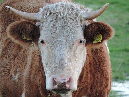 Bull, Cattle, Farm, Cow, Agriculture, Livestock