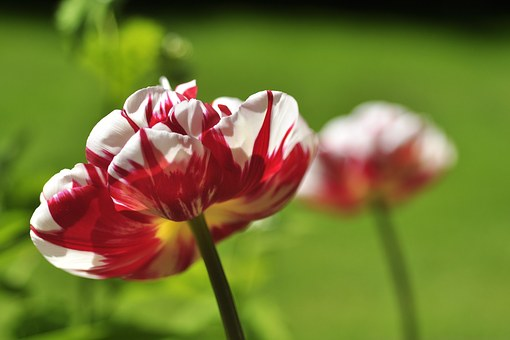 Tulip, White, Red, Spring, Early Bloomer, Green, Garden