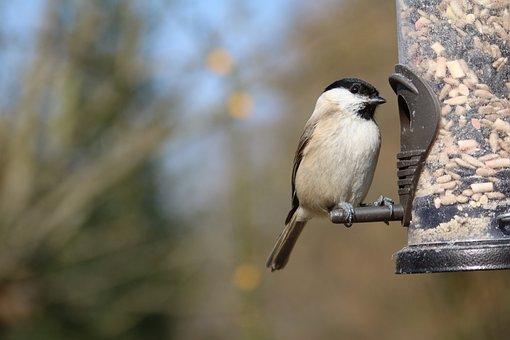 Marsh Tit, Garden Bird, Feeder, Garden, Nature, Bird